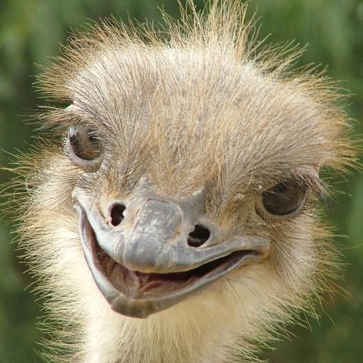 ostrich_pic2